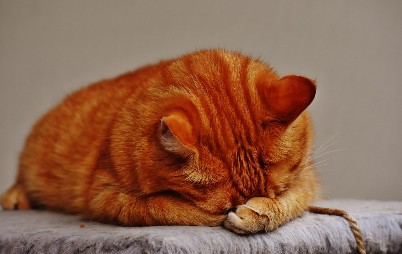 A cat hides its head behind a paw